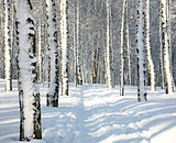 Path in sunny winter forest