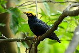 female Golden-crested Myna (Ampeliceps coronatus)