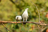 Pie Imperial Pigeon (Ducula bicolor)
