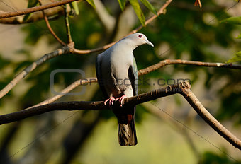 Green Imperial Pigeon (Ducula aenea)