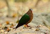 Emeral Dove (Ptilinopus jumbu)