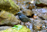 male White-tailed Robin (Cinclidium leucurum)
