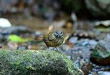 Streaked Wren Babbler (Napothera brevicaudata)