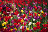 Multicolor tulips in sun spring day