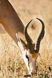 Single springbuck grazing in the Kalahari
