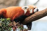Red Panda Lazing