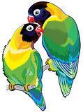 pair of masked lovebird