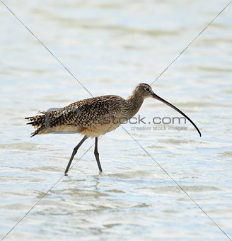 Long-Billed Curlew Bird