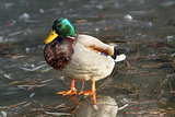 male mallard duck standing on ice
