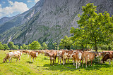 Flock of cows in alps