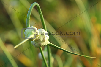 blossom garlic