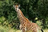 African Giraffes
