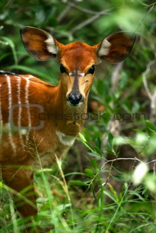 African Female Nyala