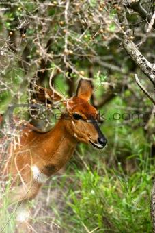 African Female Nyala