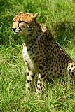African Cheetah