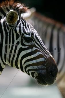 African Zebra