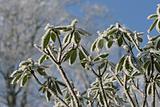 Frozen Rhododendron