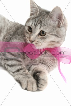 Grey cat with a pink bow on a white background