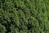 Green Bush texture