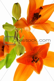 abstract picture with three lilys