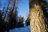 Pine trunk detail
