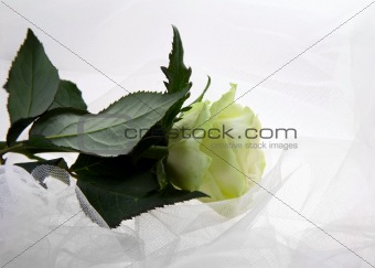 Greenish rose
