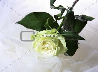 Greenish rose