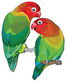 pair of fischer's lovebirds