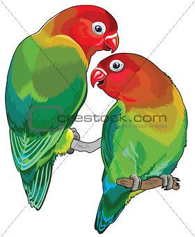 pair of fischer's lovebirds