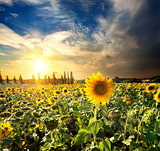 Sun and sunflowers