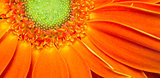 Gerbera Flower Orange Yellow Petals Green Carpels Close up