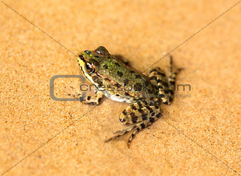 Green frog on sand