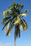 Palm Tree, Caribbean