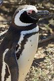 Magellanic Penguin, Argentina