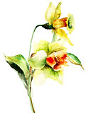 Watercolor illustration of Narcissus flowers