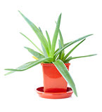 Lush aloe vera in the pot isolated