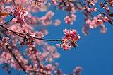 Wild Himalayan Cherry