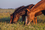 Horse grazing on pasture
