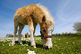 Horse foal is eating grass