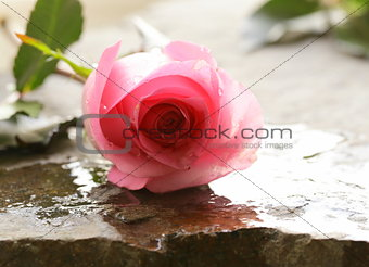 beautiful pink rose with water drops on a stone background