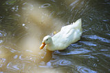 domestic duck swim