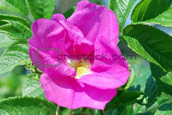 Bright pink flower rosehip