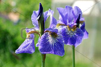 Bright blue flowers iris