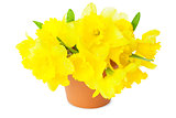 Yellow Narcissus / Daffodils