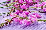 violet snapdragon