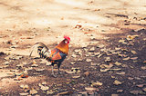 Chicken in the farm