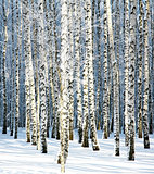 Snowy winter birch grove in sunlight