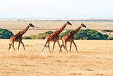 Masai Mara Giraffes