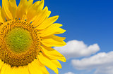part of sunflower and blue sky