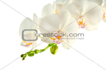 Branch of white orchid on white background